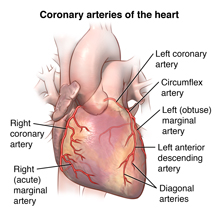 Exterior of the heart and coronary arteries