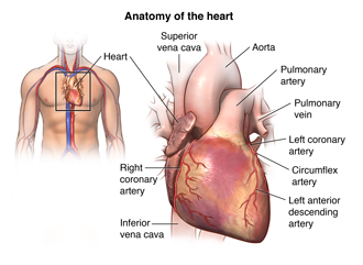 Anatomy of the heart and location of heart in the body