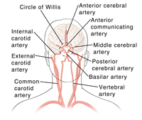 The circulatory system of the brain, including the carotid arteries